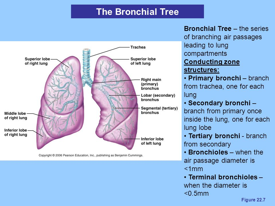 Figure 22.7 The Bronchial Tree Bronchial Tree – the series of branching air passages leading to lung compartments Conducting zone structures: Primary