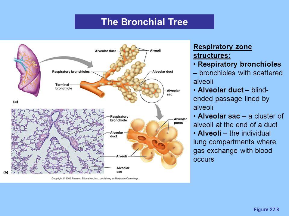 Figure 22.8 The Bronchial Tree Respiratory zone structures: Respiratory bronchioles – bronchioles with scattered alveoli Alveolar duct – blind- ended
