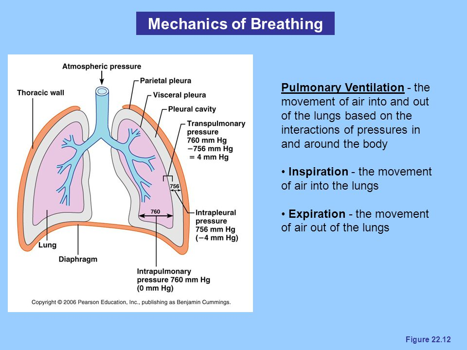 Figure 22.12 Mechanics of Breathing Pulmonary Ventilation - the movement of air into and out of the lungs based on the interactions of pressures in an
