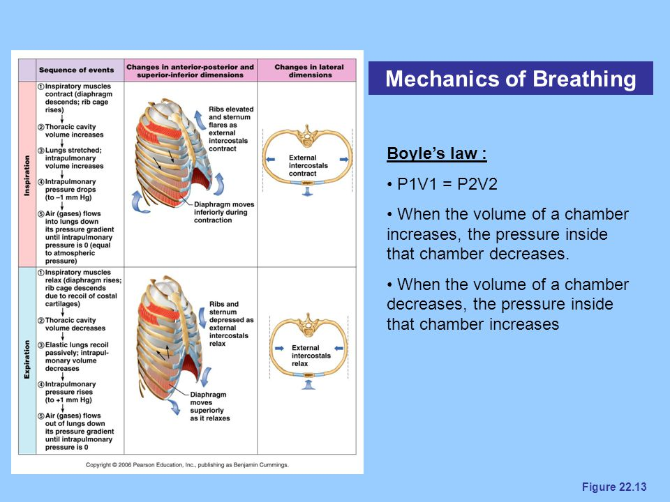 Figure 22.13 Mechanics of Breathing Boyle's law : P1V1 = P2V2 When the volume of a chamber increases, the pressure inside that chamber decreases. When