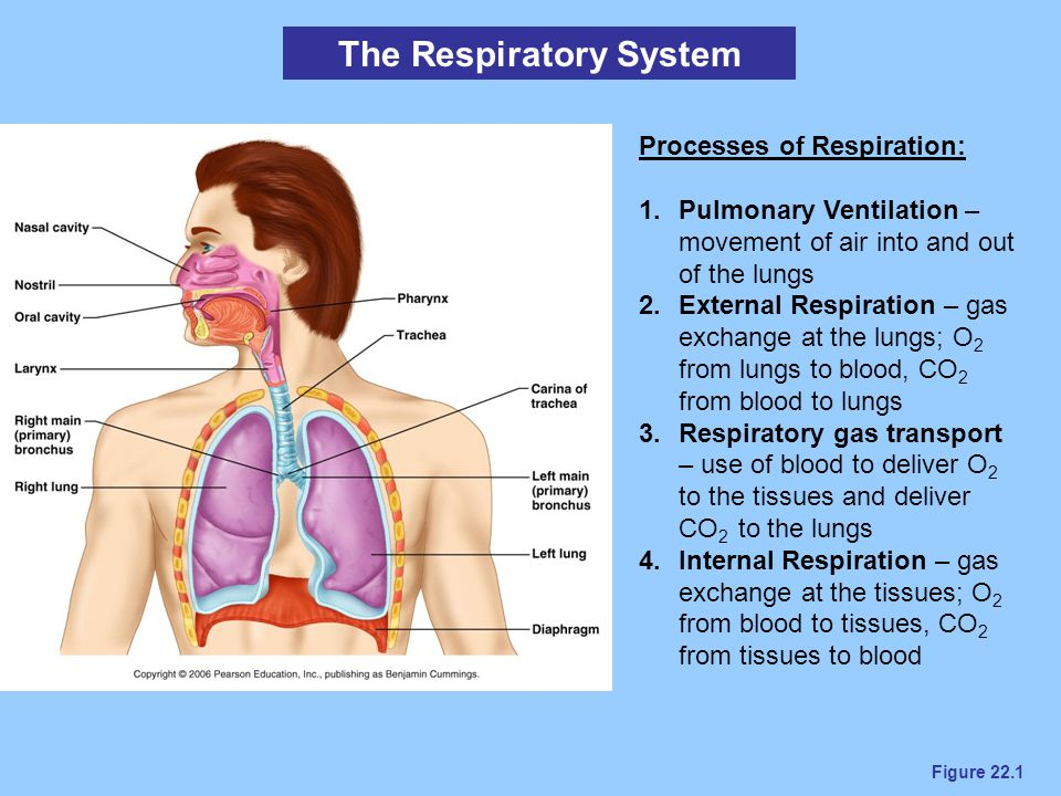 Figure 22.1 The Respiratory System Processes of Respiration: 1.Pulmonary Ventilation – movement of air into and out of the lungs 2.External Respiratio