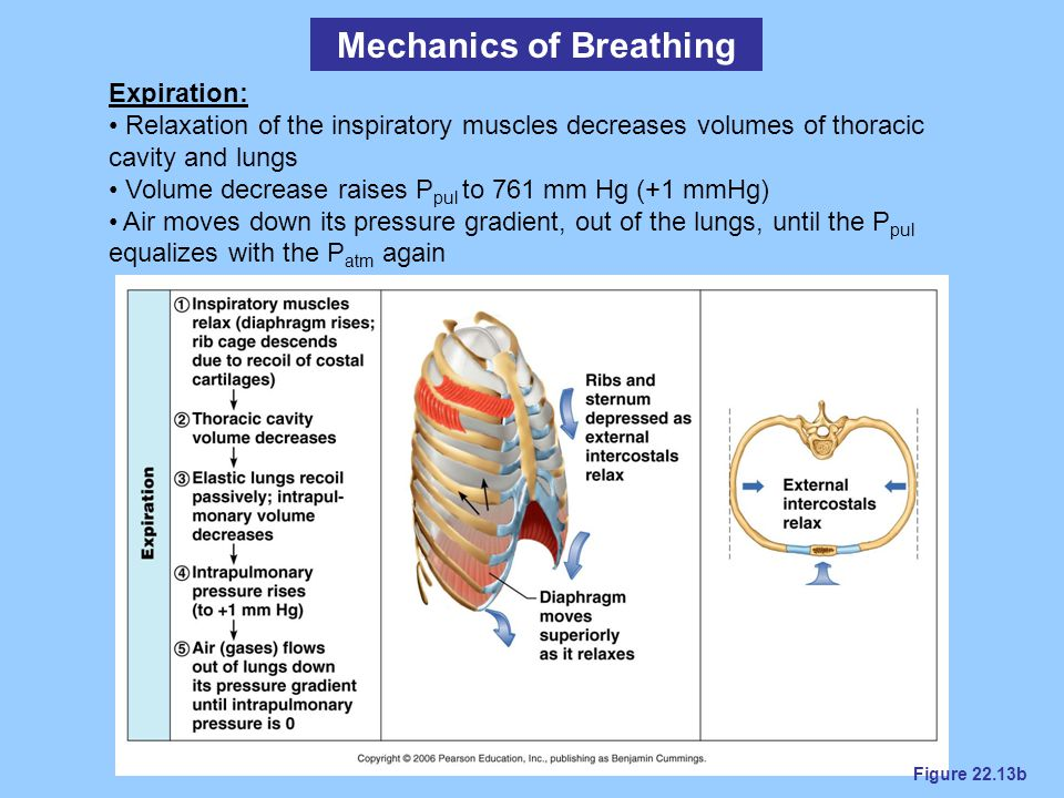 Figure 22.13b Mechanics of Breathing Expiration: Relaxation of the inspiratory muscles decreases volumes of thoracic cavity and lungs Volume decrease