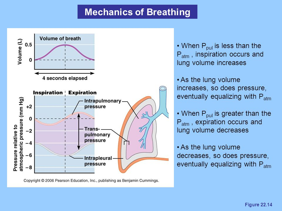 Figure 22.14 Mechanics of Breathing When P pul is less than the P atm, inspiration occurs and lung volume increases As the lung volume increases, so d
