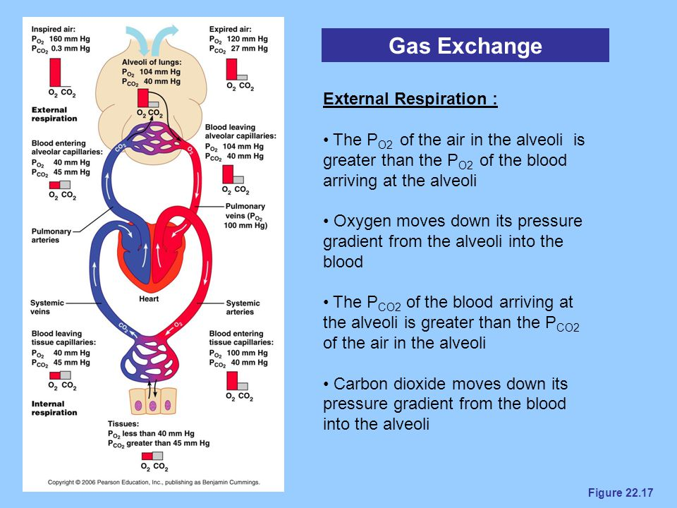 Figure 22.17 Gas Exchange External Respiration : The P O2 of the air in the alveoli is greater than the P O2 of the blood arriving at the alveoli Oxyg