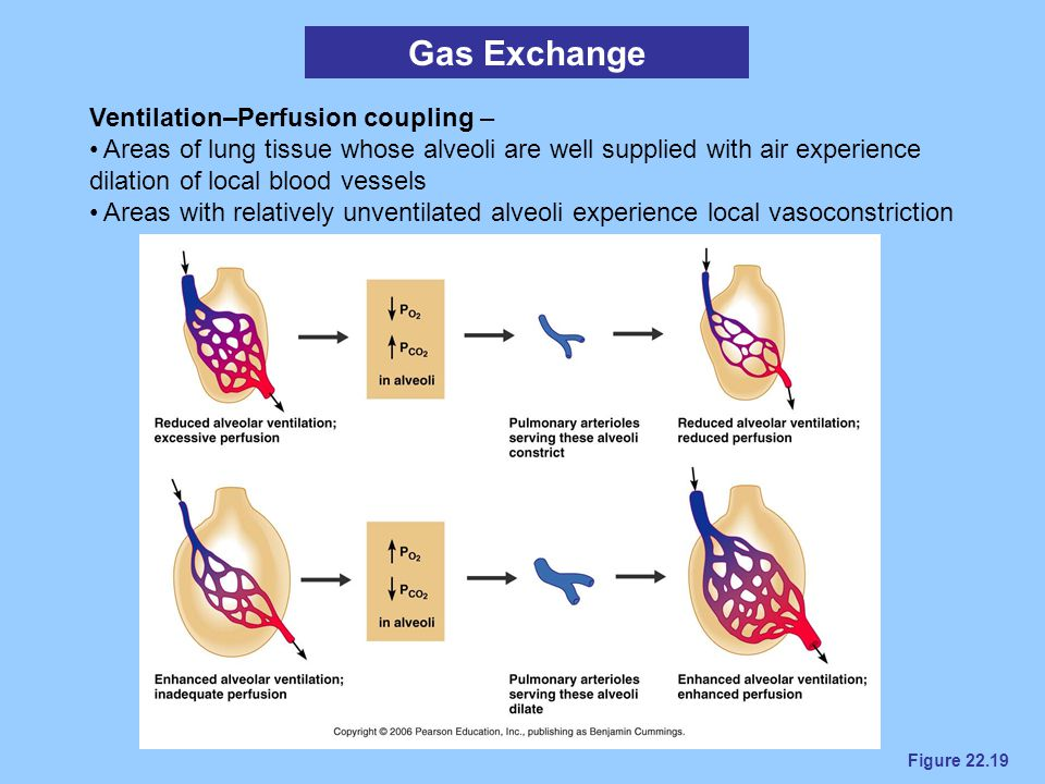 Figure 22.19 Gas Exchange Ventilation–Perfusion coupling – Areas of lung tissue whose alveoli are well supplied with air experience dilation of local