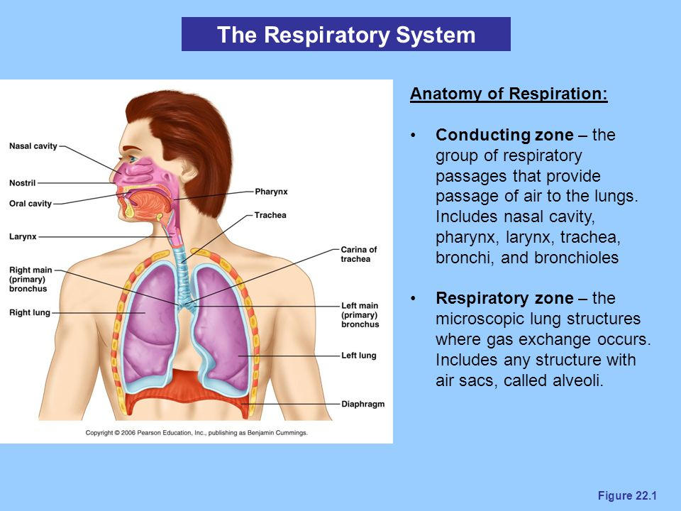 Figure 22.16a Respiratory Volumes and Capacities Vital Capacity - total amount of exchangeable air (3.1 - 4.8 L) Total Lung Capacity - total air volume in lungs (4.2-6 L) Dead spaces – areas where air is not involved in gas exchange Anatomical dead space – volume of conducting zone structures (150 mL) Alveolar dead space – volume of any nonfunctional alveoli