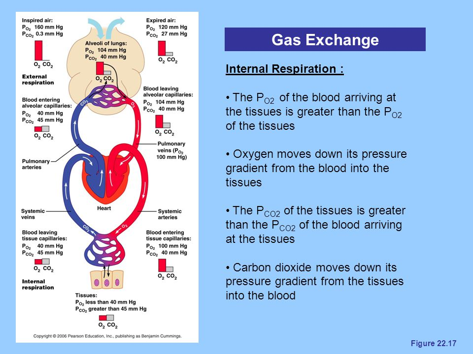 Figure 22.17 Gas Exchange Internal Respiration : The P O2 of the blood arriving at the tissues is greater than the P O2 of the tissues Oxygen moves do