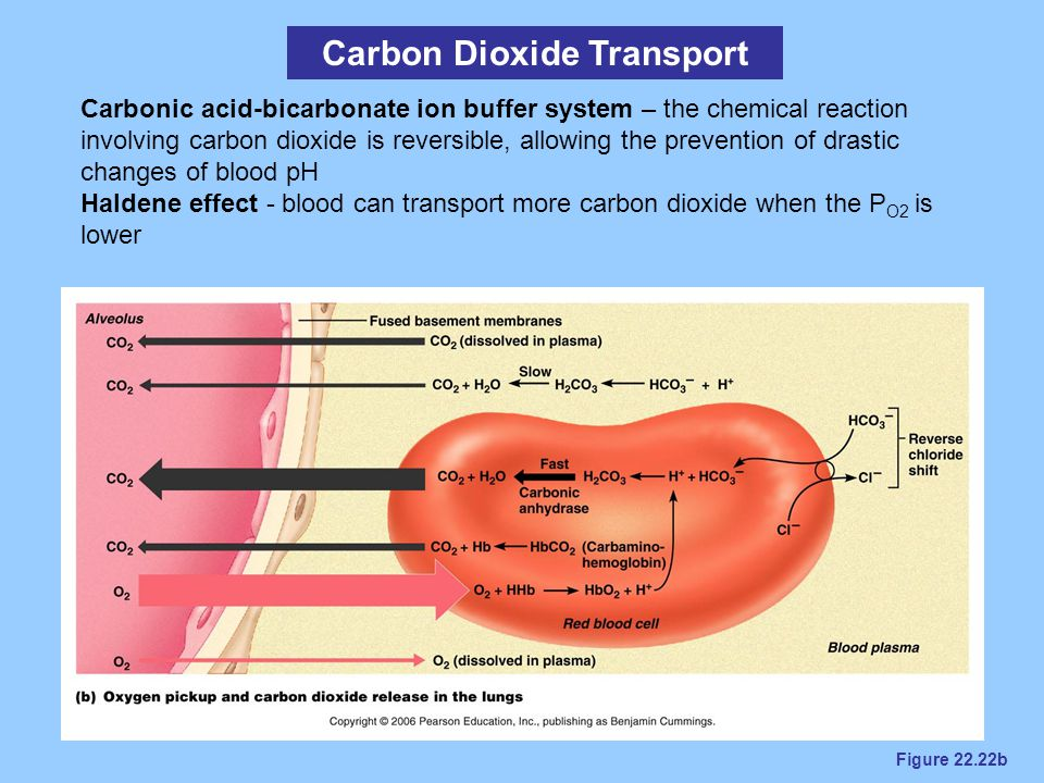 Figure 22.22b Carbon Dioxide Transport Carbonic acid-bicarbonate ion buffer system – the chemical reaction involving carbon dioxide is reversible, all