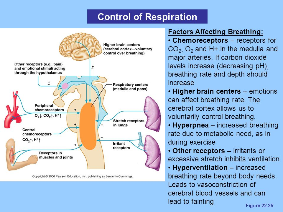 Figure 22.25 Control of Respiration Factors Affecting Breathing: Chemoreceptors – receptors for CO 2, O 2 and H+ in the medulla and major arteries. If
