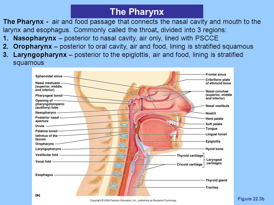 Figure 22.3b The Pharynx The Pharynx - air and food passage that connects the nasal cavity and mouth to the larynx and esophagus. Commonly called the