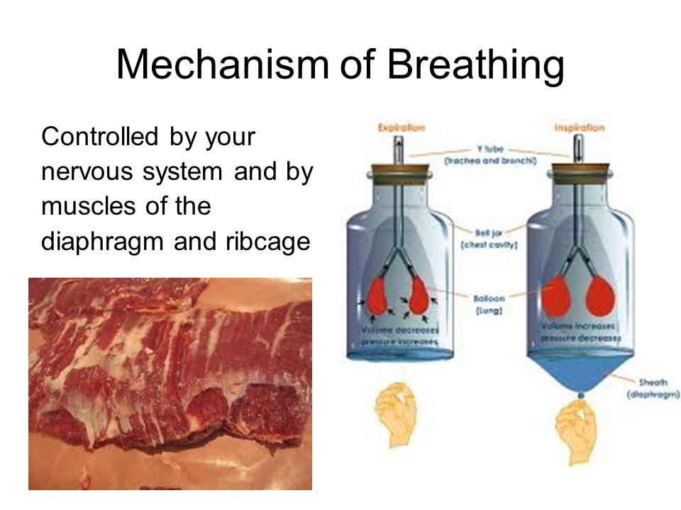 Mechanism of Breathing Controlled by your nervous system and by muscles of the diaphragm and ribcage