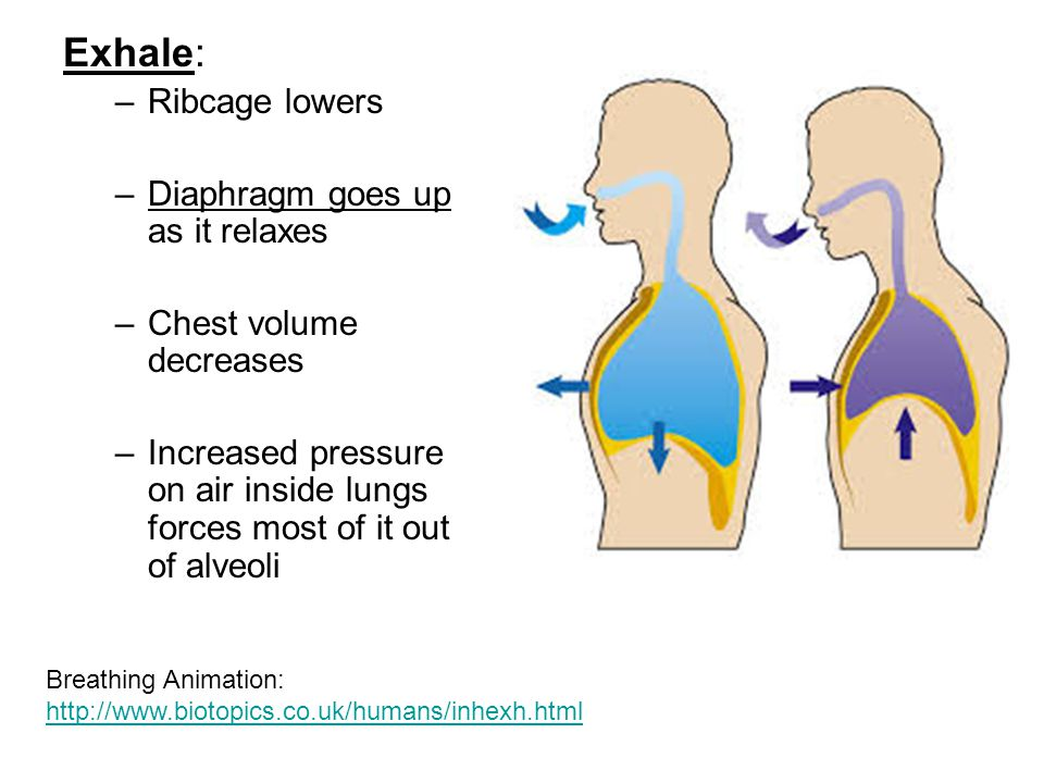 Exhale: –Ribcage lowers –Diaphragm goes up as it relaxes –Chest volume decreases –Increased pressure on air inside lungs forces most of it out of alve