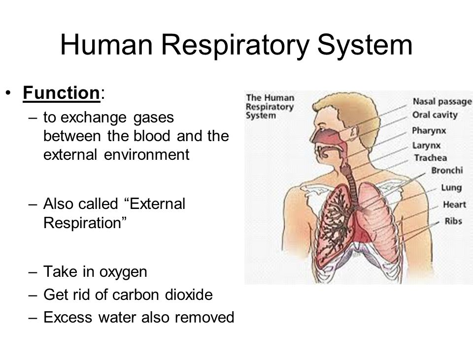 "Human Respiratory System Function: –to exchange gases between the blood and the external environment –Also called ""External Respiration"" –Take in oxyg"