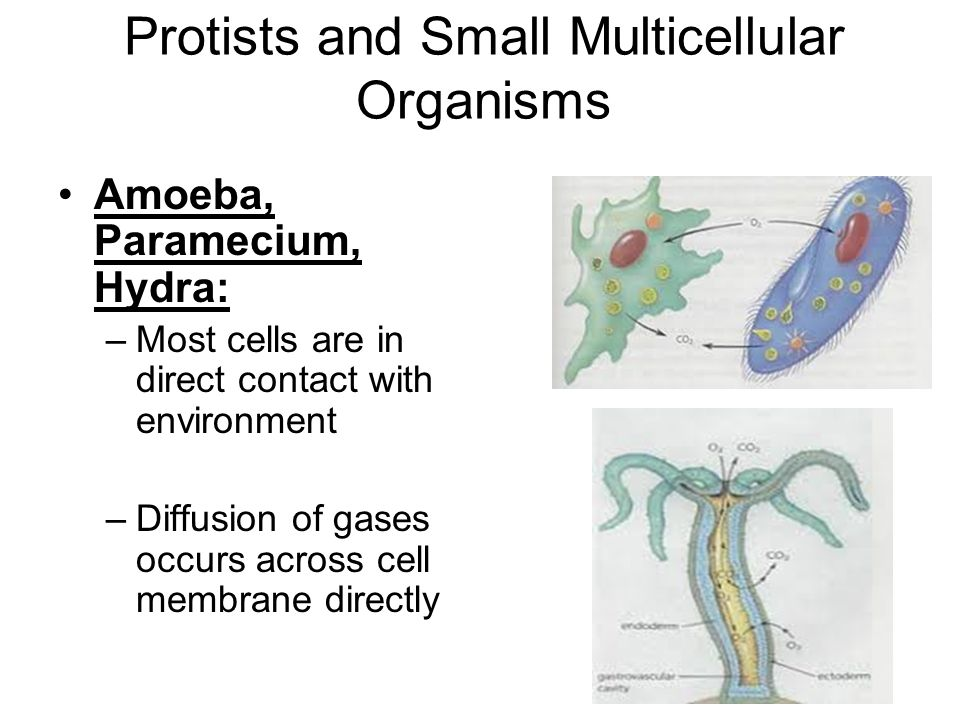 Protists and Small Multicellular Organisms Amoeba, Paramecium, Hydra: –Most cells are in direct contact with environment –Diffusion of gases occurs ac