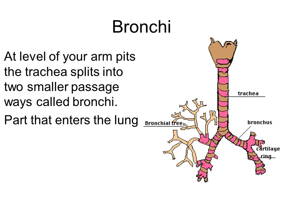 Bronchi At level of your arm pits the trachea splits into two smaller passage ways called bronchi.