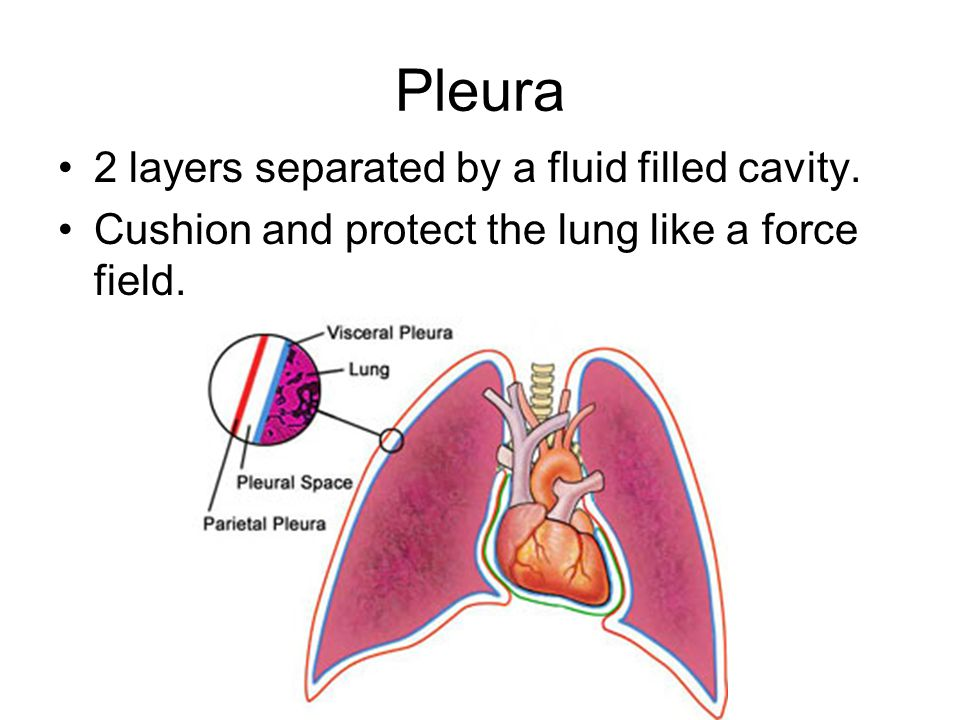 Pleura 2 layers separated by a fluid filled cavity.