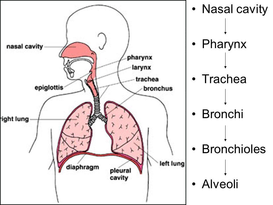 Nasal cavity Pharynx Trachea Bronchi Bronchioles Alveoli