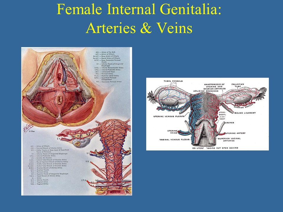 Female Internal Genitalia: Arteries & Veins