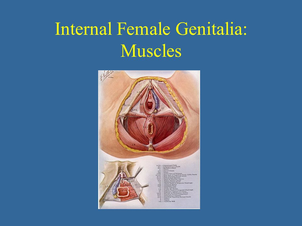 Internal Female Genitalia: Muscles