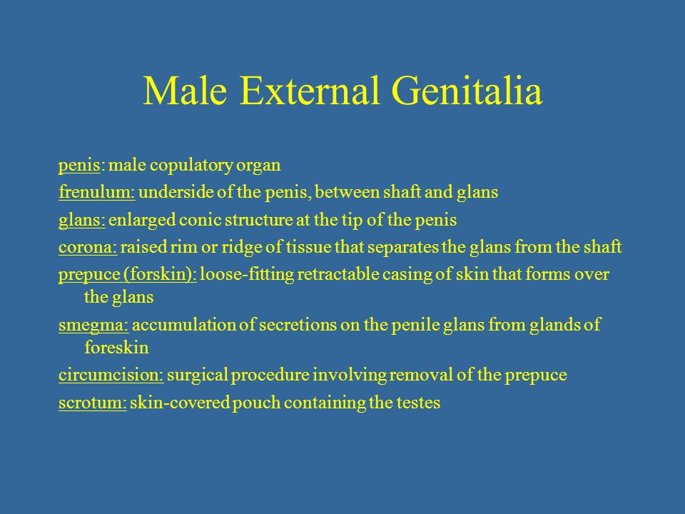 Male External Genitalia penis: male copulatory organ frenulum: underside of the penis, between shaft and glans glans: enlarged conic structure at the