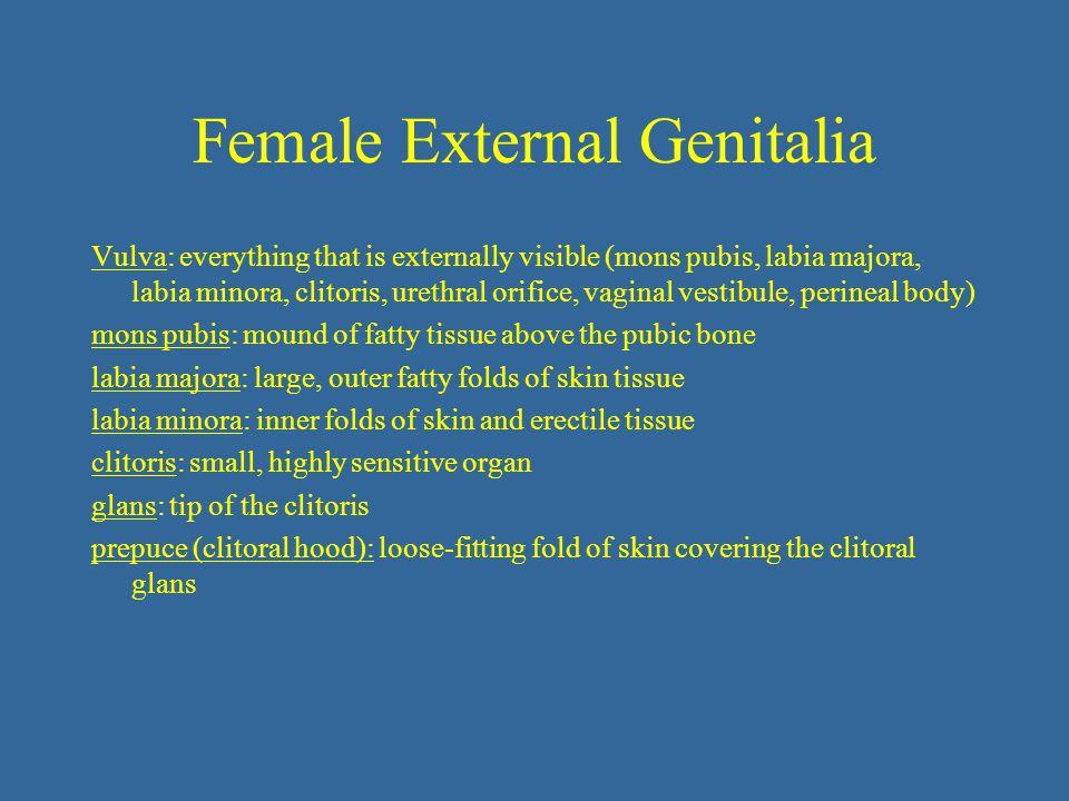 Female External Genitalia Vulva: everything that is externally visible (mons pubis, labia majora, labia minora, clitoris, urethral orifice, vaginal ve