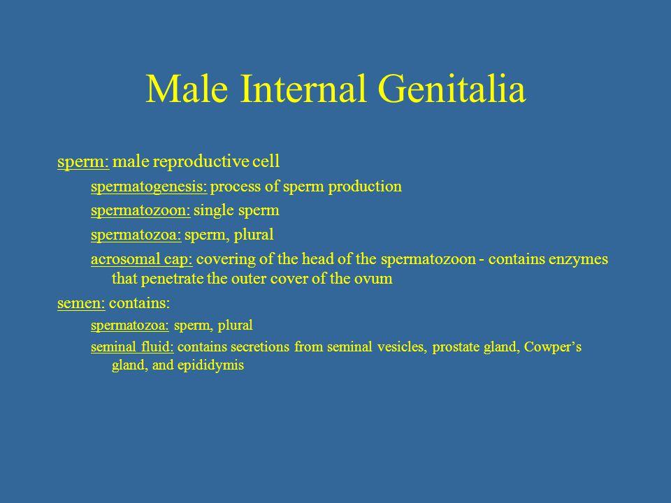 Male Internal Genitalia sperm: male reproductive cell spermatogenesis: process of sperm production spermatozoon: single sperm spermatozoa: sperm, plur