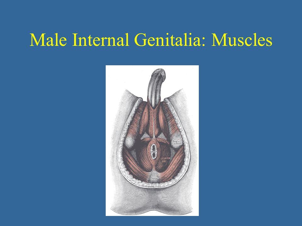 Male Internal Genitalia: Muscles