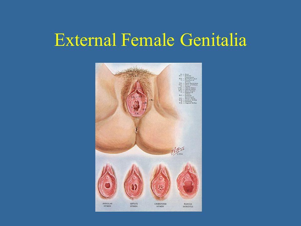 External Female Genitalia