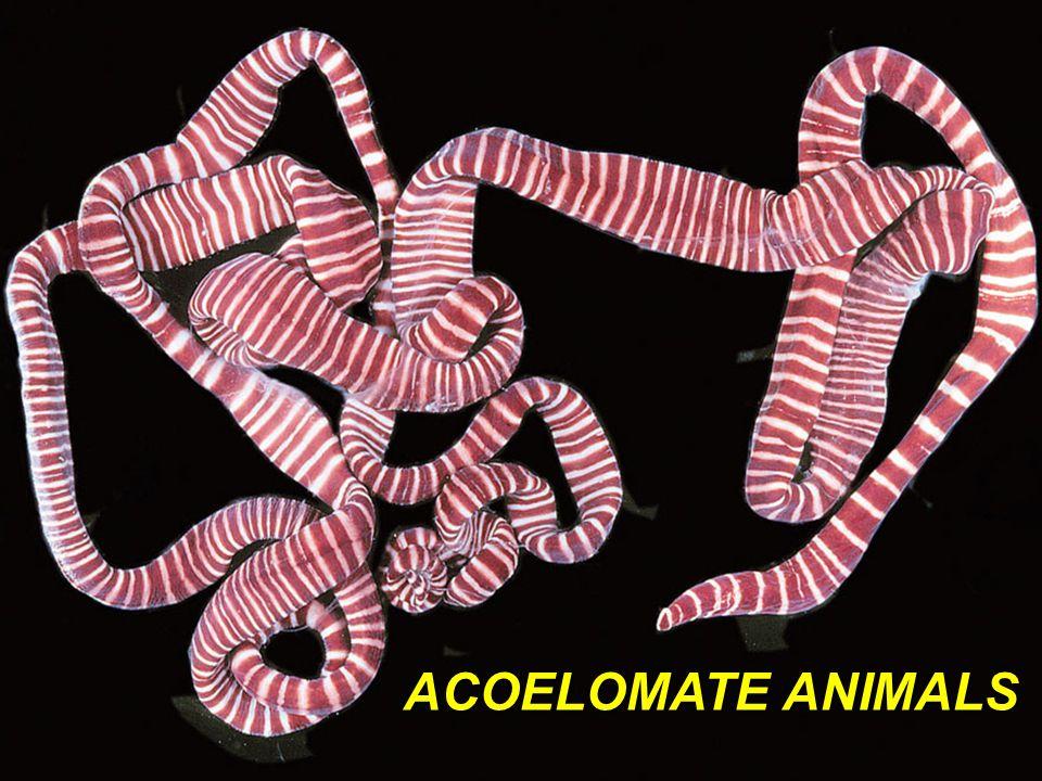 Fig. 14.10 ACOELOMATE ANIMALS