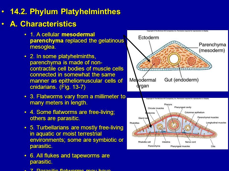 14.2.Phylum Platyhelminthes14.2. Phylum Platyhelminthes A.