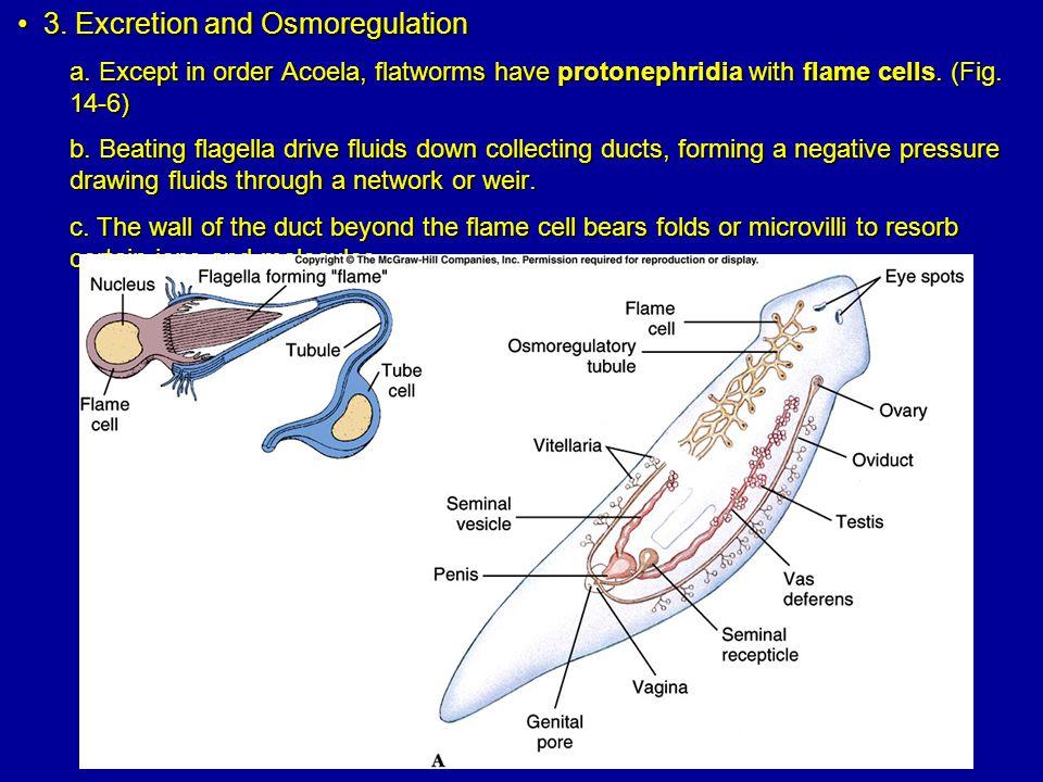 3.Excretion and Osmoregulation3. Excretion and Osmoregulation a.