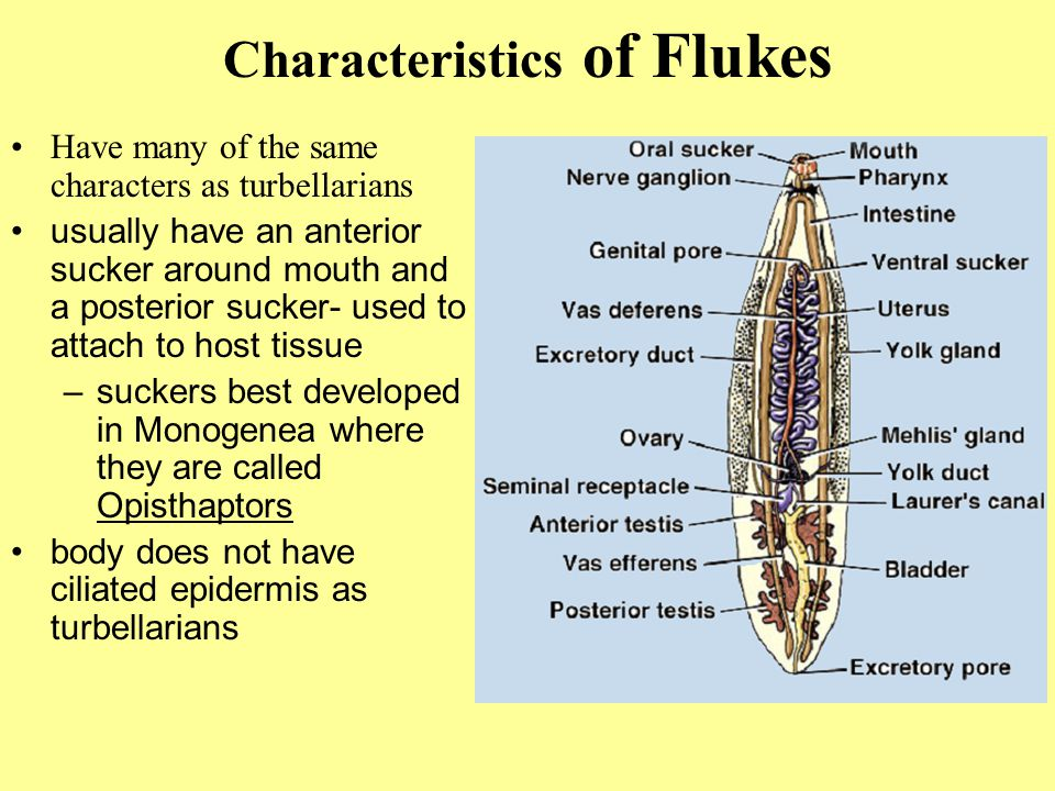 Characteristics of Flukes Have many of the same characters as turbellarians usually have an anterior sucker around mouth and a posterior sucker- used to attach to host tissue –suckers best developed in Monogenea where they are called Opisthaptors body does not have ciliated epidermis as turbellarians