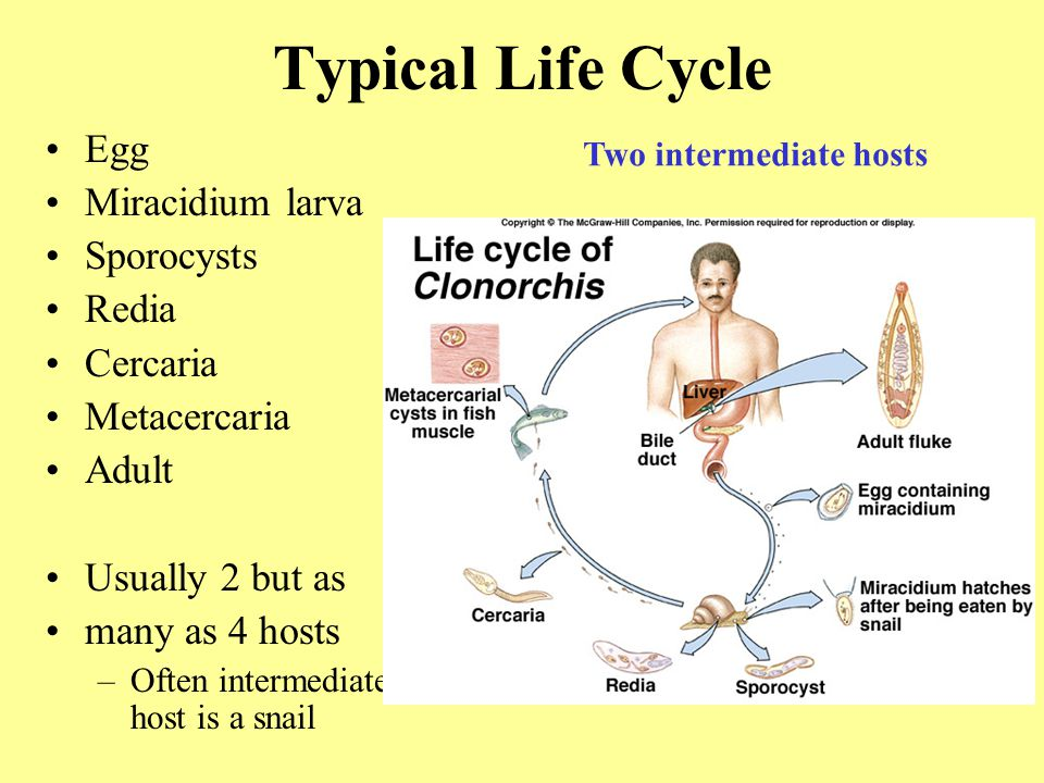 Typical Life Cycle Egg Miracidium larva Sporocysts Redia Cercaria Metacercaria Adult Usually 2 but as many as 4 hosts –Often intermediate host is a snail Two intermediate hosts