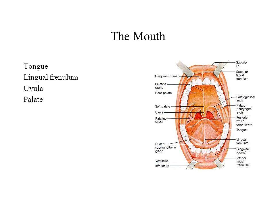 The Mouth Tongue Lingual frenulum Uvula Palate