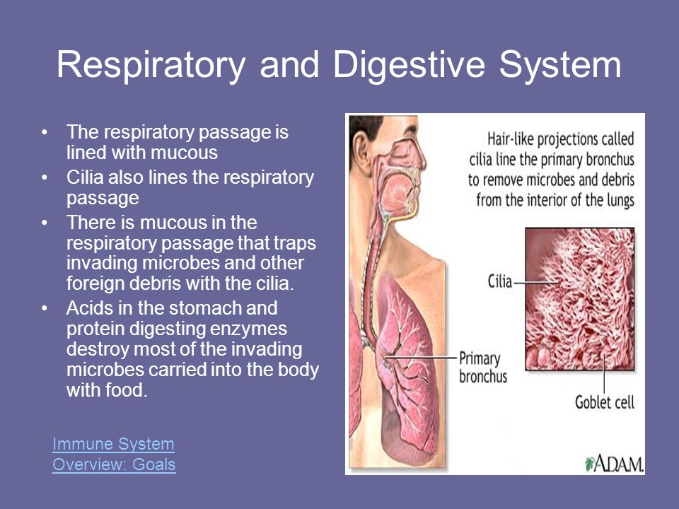 Respiratory and Digestive System The respiratory passage is lined with mucous Cilia also lines the respiratory passage There is mucous in the respirat