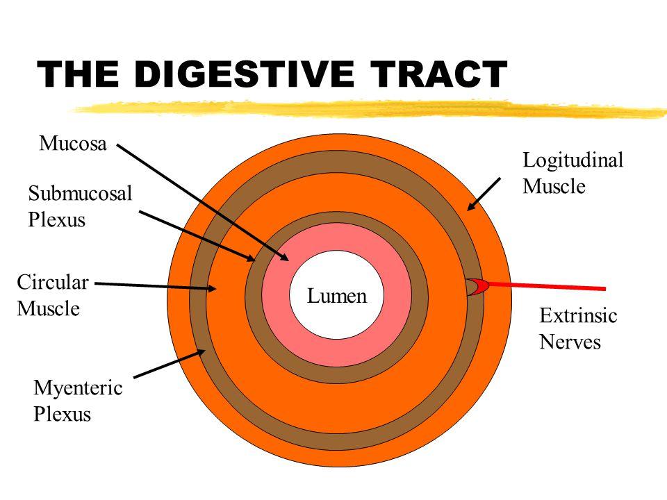 THE DIGESTIVE TRACT Lumen Mucosa Submucosal Plexus Circular Muscle Myenteric Plexus Logitudinal Muscle Extrinsic Nerves