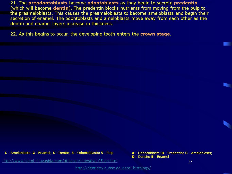 35 http://www.histol.chuvashia.com/atlas-en/digestive-05-en.htm 1 - Ameloblasts; 2 - Enamel; 3 - Dentin; 4 - Odontoblasts; 5 - Pulp 21. The preodontob
