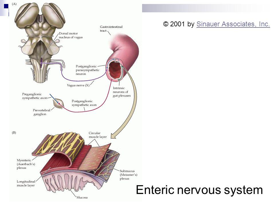 Enteric nervous system © 2001 by Sinauer Associates, Inc.Sinauer Associates, Inc.