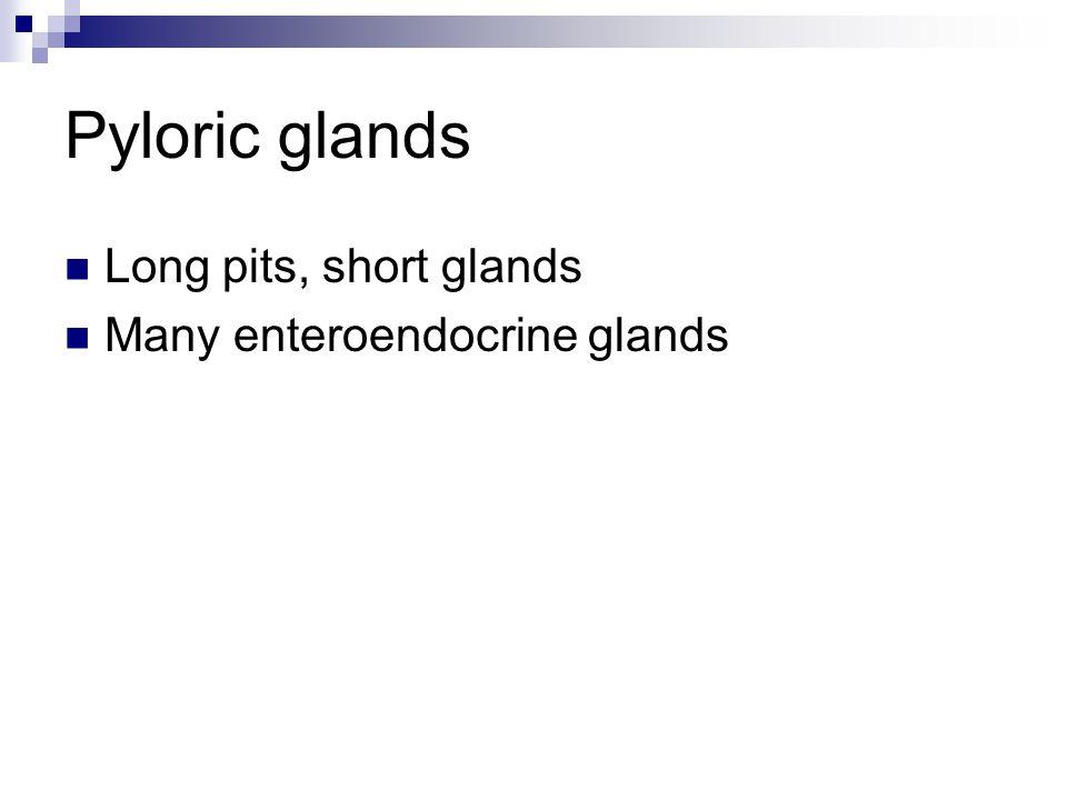 Pyloric glands Long pits, short glands Many enteroendocrine glands