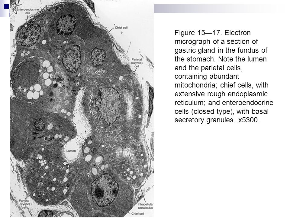 Figure 15—17. Electron micrograph of a section of gastric gland in the fundus of the stomach. Note the lumen and the parietal cells, containing abunda