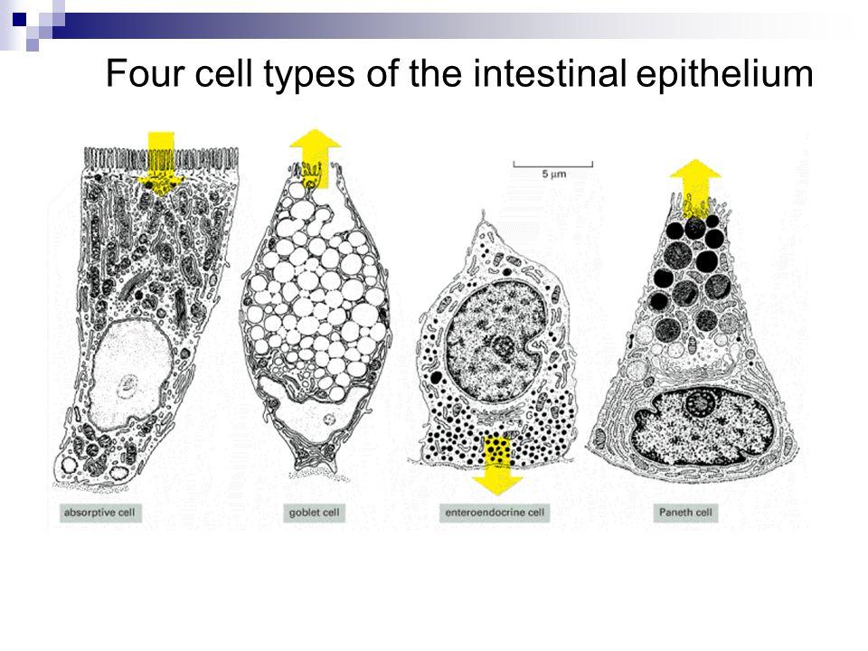 Four cell types of the intestinal epithelium
