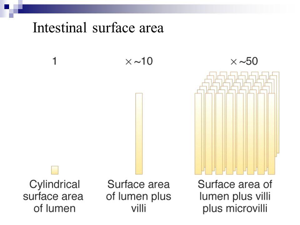 Intestinal surface area