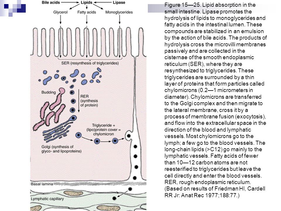 Figure 15—25. Lipid absorption in the small intestine. Lipase promotes the hydrolysis of lipids to monoglycerides and fatty acids in the intestinal lu