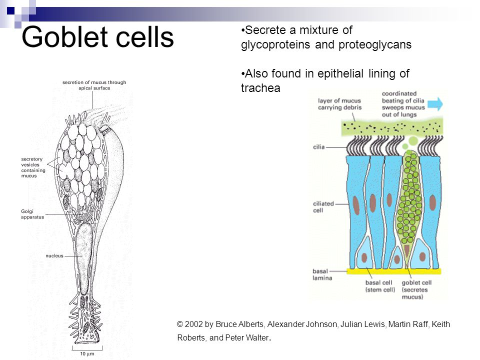 Goblet cells Secrete a mixture of glycoproteins and proteoglycans Also found in epithelial lining of trachea © 2002 by Bruce Alberts, Alexander Johnso