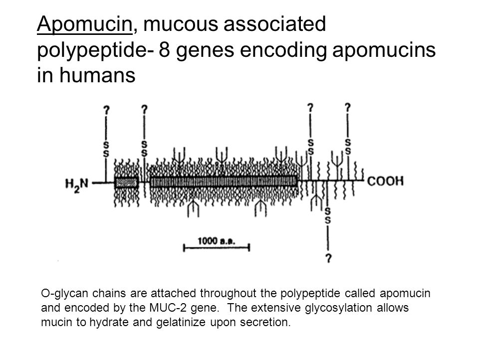 O-glycan chains are attached throughout the polypeptide called apomucin and encoded by the MUC-2 gene. The extensive glycosylation allows mucin to hyd