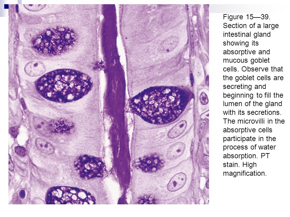 Figure 15—39. Section of a large intestinal gland showing its absorptive and mucous goblet cells. Observe that the goblet cells are secreting and begi