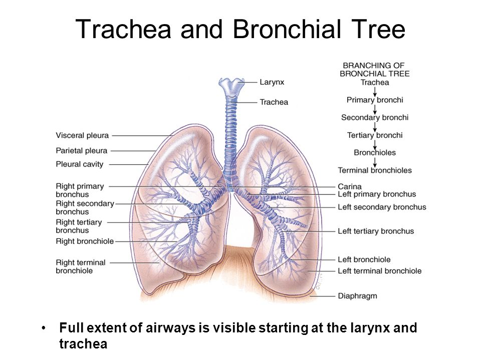 Trachea and Bronchial Tree Full extent of airways is visible starting at the larynx and trachea