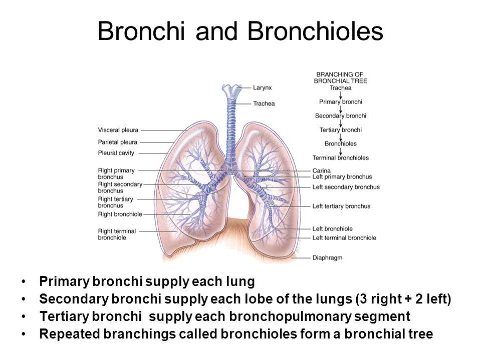 Bronchi and Bronchioles Primary bronchi supply each lung Secondary bronchi supply each lobe of the lungs (3 right + 2 left) Tertiary bronchi supply ea