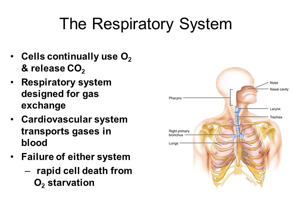 Respiratory System Anatomy Nose Pharynx = throat Larynx = voicebox Trachea = windpipe Bronchi = airways Lungs Locations of infections –upper respiratory tract is above vocal cords –lower respiratory tract is below vocal cords