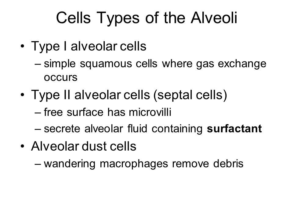 Cells Types of the Alveoli Type I alveolar cells –simple squamous cells where gas exchange occurs Type II alveolar cells (septal cells) –free surface